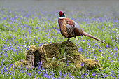 Pheasant (Phasianus colchicus) male perched on a tree stump amongst bluebells, England