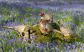 Pheasant(Phasianus colchicus) male and female perched on a log, England
