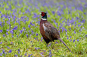 Pheasant(Phasianus colchicus) standing amongst bluebell in the rain, England