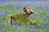 Pheasant(Phasianus colchicus) standing on a log amongst bluebell, England