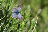 Black Eyed Blue (Glaucopsyche melanops) Female imago in spring, South central pyrenees spain spain