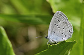 Provençal short-tailed blue (Cupido alcetas) Male Imago posed monitoring its territory, Meadow border in summer, Saint Martin d'Uriage, Isère, France