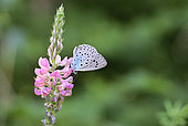 Large Blue Butterfly (Maculinea arion) Imago foraging a flower of sainfoin sown by the roadside, Uriage, Isère, France.