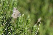 Black Eyed Blue (Glaucopsyche melanops) Female imago in spring, central central pyrenees spain spain