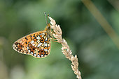 Silver-bordered Fritillary (Boloria selene) Imago at rest on a flower of poaceae in summer, Prairie haute, Creuse, France