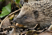 European hedgehog (Erinaceus europaeus) Portrait of young individual searching for food in forest litter in spring, Plérin, Côtes d'Armor, Brittany France