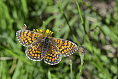 Meadow Fritillary (Melitaea parthenoides) Female Imago warming in the sun, Forest border in summer, St Martin d'Uriage, Isère, France