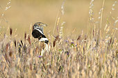Little bustard (Tetrax tetrax) Male singing at the end of the day in a Steppe in spring, Central Spain