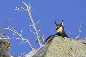 Alpine chamois (Rupicapra rupicapra) Male in winter coat observing from the top of a rock in winter, Hohneck, Haut-Rhin, France