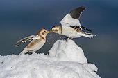 Bruant des neiges (Plectrophenax nivalis) se battant sur la neige, Ecosse