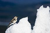 Bruant des neiges (Plectrophenax nivalis) sur la neige, Ecosse