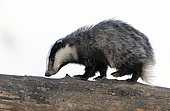 Badger (Meles meles) walking on a dead tree
