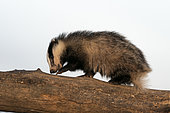 Badger (Meles meles) walking on a dead tree looking for food