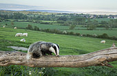 Badger (Meles meles) walking on a tree trunk in the British countryside