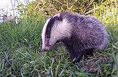 Badger (Meles meles) standing in the grass, England