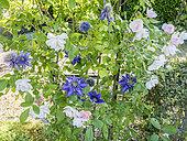 Rosa 'Sourire d'Orchidée', Clematis 'Multi Blue' Breeder : Croix (FRA) 1985