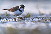 Little ringed plover (Charadrius dubius) at the water's edge, Slovakia
