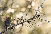 European Robin (Erithacus rubecula) on a branch, Slovakia