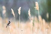 Bruant des roseaux (Emberiza schoeniclus chantant sur roseau, Slovaquie