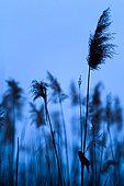 Savi's Warbler (Locustella luscinioides) singing on a reed, Slovakia