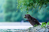 European beaver (Castor fiber) on riverbank, Slovakia
