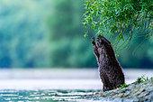 European beaver (Castor fiber) on riverbank, Slovakia