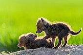 Renard roux (Vulpes vulpes) renardeaux jouant , Slovaquie