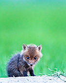 Red fox (Vulpes vulpes) young, Slovakia