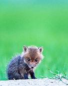 Renard roux (Vulpes vulpes) renardeau, Slovaquie