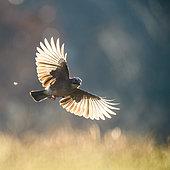 Eurasian Jay (Garrulus glandarius) in flight, Slovakia