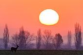 Roe (Capreolus capreolus) in sunrise, Slovakia