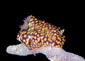 Nudibranch. portrait of a Netted Certosoma, Ceratosoma sinuatum, Alotau, Milne Bay, Papua New Guinea, Pacific Ocean.