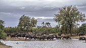 African buffalo (Syncerus caffer) herd drinking in lake in Kruger National park, South Africa