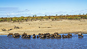 African buffalo (Syncerus caffer) herd drinking in lake in Kruger National park, South Africa ; Specie