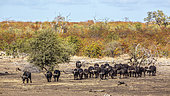 African buffalo (Syncerus caffer) herd walking front view in Kruger National park, South Africa
