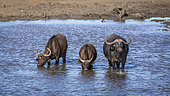 Three African buffalos (Syncerus caffer) drinking in a lake in Kruger National park, South Africa