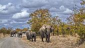 Éléphant de savane d'Afrique (Loxodonta africana) traversant une route de safari dans le parc national Kruger, Afrique du Sud