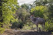 Greater kudu (Tragelaphus strepsiceros) male in green savannah in Kruger National park, South Africa