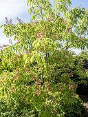 Aesculus mutabilis 'Penduliflora'
