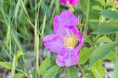 Rosa roxburghii normalis Chine 1828