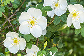 Rosa spinosissima 1800
