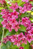 Weigela florida 'Bristol Ruby'