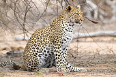 Leopard (Panthera pardus), adult female sitting on the ground, Mpumalanga, South Africa