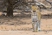 Leopard (Panthera pardus), adult female standing on the ground, Mpumalanga, South Africa