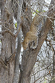 Leopard (Panthera pardus), adult female climbing down from a tree, Mpumalanga, South Africa