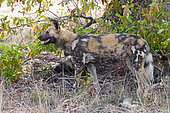 Wild Dog (Lycaon pictus), side view of an adult female, Mpumalanga, South Africa