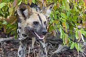 Wild Dog (Lycaon pictus), close-up of an adult, Mpumalanga, South Africa