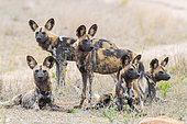 Wild Dog (Lycaon pictus), a pack in the savannah, Mpumalanga, South Africa