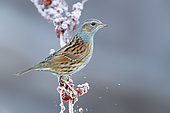Dunnock (Prunella modularis), adult perched on a frost covered stem, Campania, Italy
