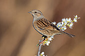 Dunnock (Prunella modularis), adult perched on a Blackthorn branch, Campania, Italy